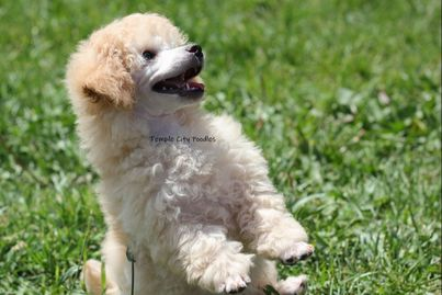 About Us Temple City Poodles